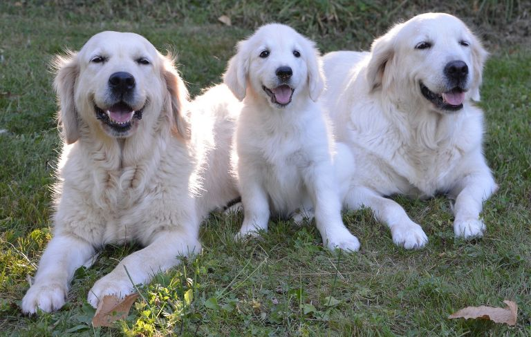 golden-retriever-2645903_1280